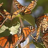 Monarch Butterfly Migration in Michoacán