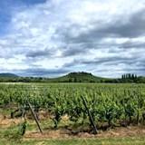 An Alsatian vineyard near the Rhine River.