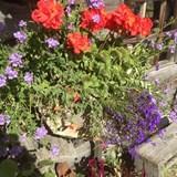 Beautiful flowers in Alaska