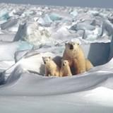 Mama Polar Bear and her cubs