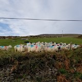 Ireland - Sheep