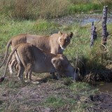 two females full from eating a kudu