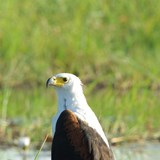 African Fish Eagle- they were everywhere