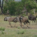 walking near Blue Wildebeest