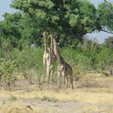 giraffes are such curious animals