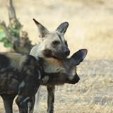 endangered Wild Dogs playing