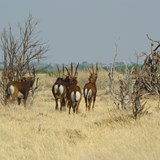 Sable Antelope are very shy