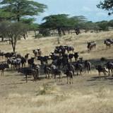 wildebeest grazing near a lake