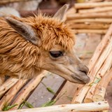 A Llama in a village in the Sacred Valley