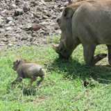 wart hog and baby