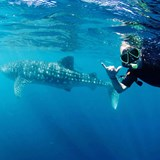 Swimming with whalesharks in Western Australia