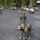 Awesome experience of being pulled by sled dogs