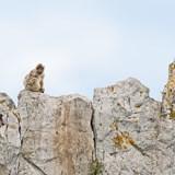 intriguing tailless creatures -Spain -Gibraltar