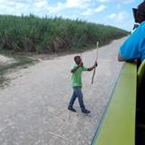 Ready for a taste of sugar cane