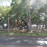 143 yr old Banyan tree