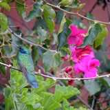 Giant Hummingbird at Sol y Luna Lodge & Spa