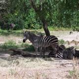 Safari at Animal Kingdom