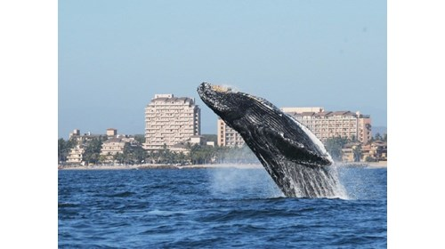 A whale plays right off the beach Puerto Vallarta