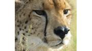 Cheetah in Zimbabwe