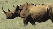 Rhino in Lewa Wildlife Conservancy