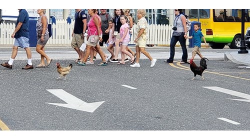 Why did the chicken cross the road? (Grand Cayman)