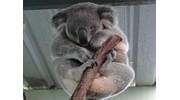 Koala at Featherdale Wildlife Park, Sydney