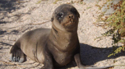 Sea Lion Pup in the Galapagos Islands