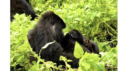 Lioness hunting in Botswana