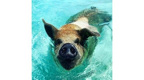 Swimming with the pigs in Exuma!