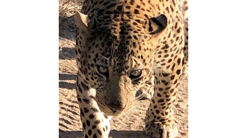 African beauty-walked right by our safari truck!