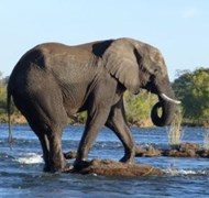 Elephant Crossing the Zambezi River