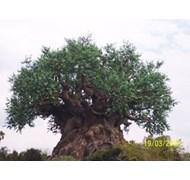 Tree of Life WDW
