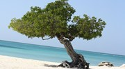 The Divi-Divi Tree popular in Aruba