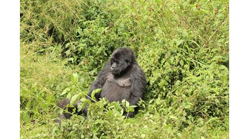 Relaxing Mountain Gorilla